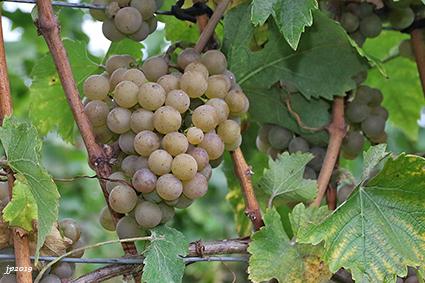 Druivenpluk bij De Boogaerd