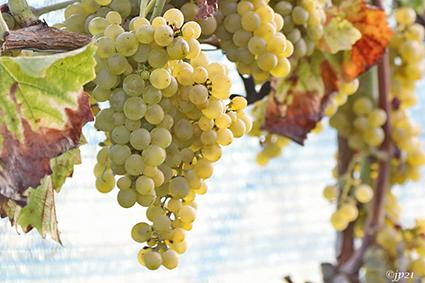 Van druif tot wijn in Wijngaard Den Plompaert